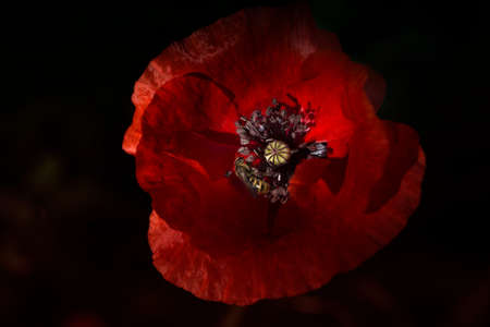 Papaver rhoeas common names include corn poppy, corn rose, field poppy, Flanders poppy, red poppy, red weed, coquelicot. 免版税图像