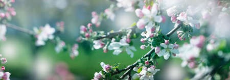 background with spring apple blossom. Blossoming branch in springtime Blooming apple tree in spring time.fresh Apple tree twig with flowers and leaves on garden 免版税图像
