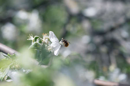 bee on a white flower on a tree.Bee picking pollen from apple flower.Bee on apple blossom.Honeybee collecting pollen at a pink flower blossom 免版税图像 - 162746732