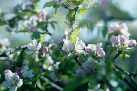 background with spring apple blossom. Blossoming branch in springtime Blooming apple tree in spring time.fresh Apple tree twig with flowers and leaves on garden 免版税图像 - 162746733