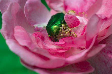 Rose chafer feeding on a flower. Macro of a rose chafer in the bloom of a rose. 免版税图像 - 162746737