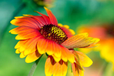 Macro view of yellow-red summer flower. red summer flower macro. Floral image for spring background or banner template