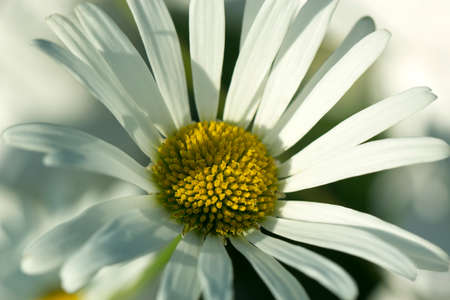 Flower macro shot, abstract photo of a white flower with shallow depth of field. Beautiful natural background. 免版税图像