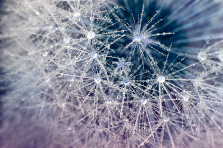 Close-up of dewdrop on the head of dandelion. Water drops on a parachutes dandelion