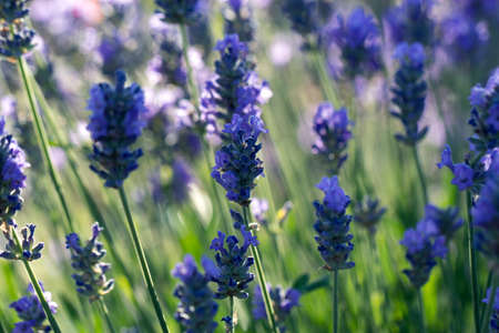 Closeup photo of beautiful gentle lavender flower field, abstract purple floral background, aromatic plant, beauty of spring nature 免版税图像