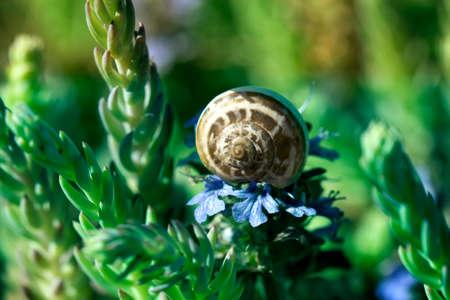 macro of small garden snail eating spring flower on garden. Small brown snail and flower 免版税图像