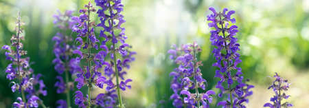 Beautiful summer violet flowers background. Bumbleberry Salvia. purple flowers of decorative sage field