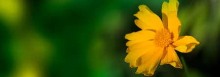 cute yellow summer flower on green background .delicate yellow flower. fragile delicate yellow flower