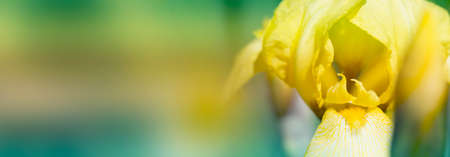 Close-up abstract image of yellow iris flower. Spring macro outdoor.yellow spring flowers in a garden. Copy space for your text. Mock up template. Can be used for wallpaper, wedding cards, web page banner 免版税图像