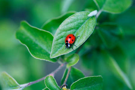 Ladybug on green leaf and green background. beetle ladybird sits on a green leaf 免版税图像