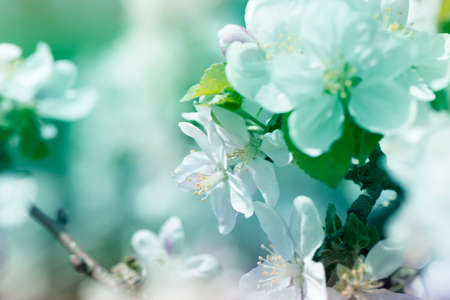 background with spring apple blossom. Blossoming branch in springtime Blooming apple tree in spring time.fresh Apple tree twig with flowers and leaves on garden Stock Photo