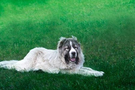 Cute Caucasian shepherd dog. Beautiful happy dog in a garden. Beautiful happy Caucasian shepherd dog in a garden