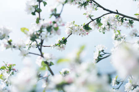 background with spring apple blossom. Blossoming branch in springtime Blooming apple tree in spring time.fresh Apple tree twig with flowers and leaves on garden 免版税图像 - 164095262