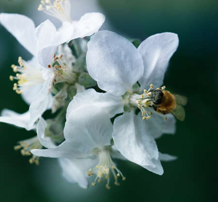 bee on a white flower on a tree.Bee picking pollen from apple flower.Bee on apple blossom.Honeybee collecting pollen at a pink flower blossom 免版税图像