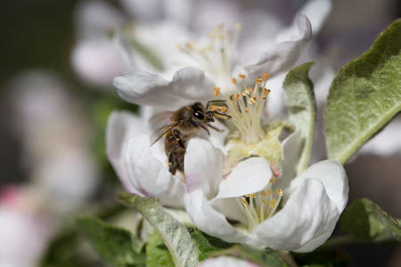 bee on a white flower on a tree.Bee picking pollen from apple flower.Bee on apple blossom.Honeybee collecting pollen at a pink flower blossom Фото со стока