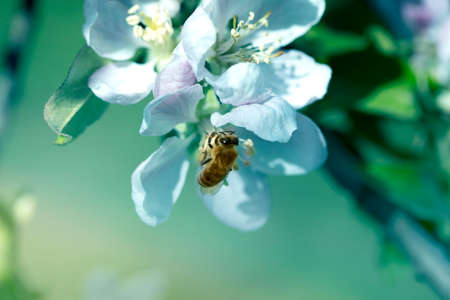 bee on a white flower on a tree. Bee picking pollen from apple flower. Bee on apple blossom. Honeybee collecting pollen at a flower blossom