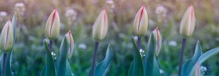 Tulip. Flower background. Flowers photo concept. Holidays photo concept.Flowers. Flower background. Copyspace 免版税图像