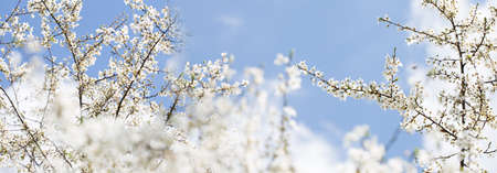 Branch with fresh bloom of wild plum-tree flower closeup in garden. Spring blossoming spring flowers on a plum tree against blue sky