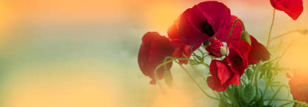 red poppy flowers. Summer Sunshine Effects. Nature Background. Red Flowers. Banner Stock Photo