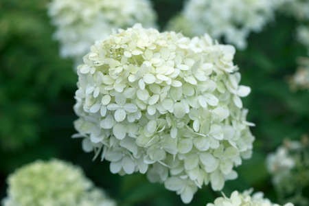 close up of white hydrangea flowers as background. White hydrangea flowers on bush