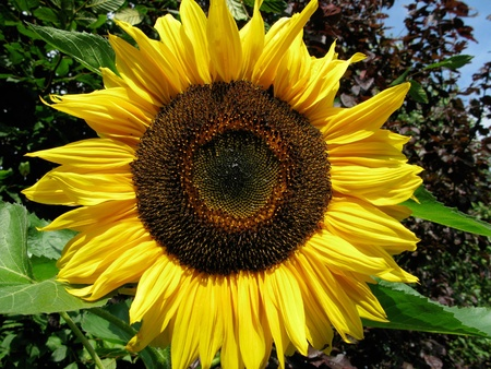 giant sunflower: Giant sunflower