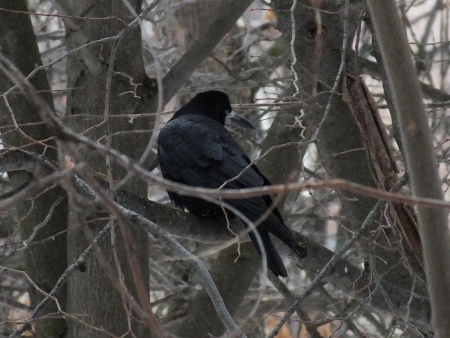 schein: A crow on a branch Stock Photo