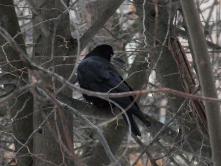 schein: A crow on a branch Stock Photo