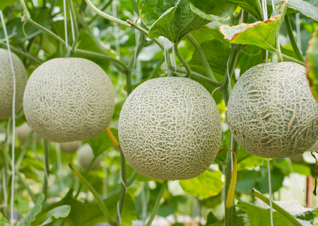 Japanese green cantaloupe. Fresh melon on tree in garden Stock fotó