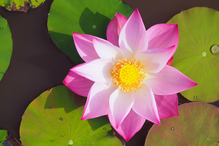 Beautiful lotus flower in river, top view