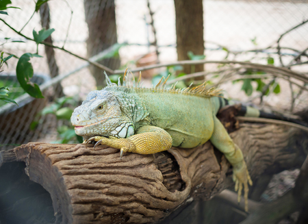 Green iguana on old branch