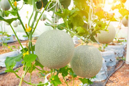 Japanese green cantaloupe with green leaves background in field. Fresh melon on tree in garden. selective focus