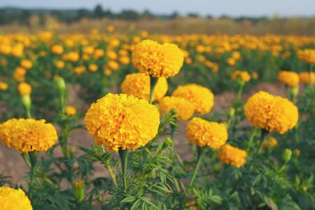 Yellow marigold flowers with green leaves in the meadow in flower garden for background