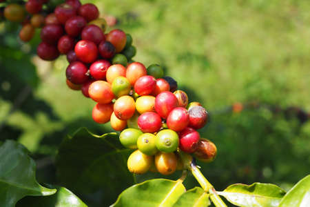 Fresh Coffee beans with gree leaves on tree in garden