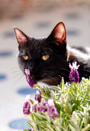 Little black cat snifing lavender plant. Spring gardening concept.