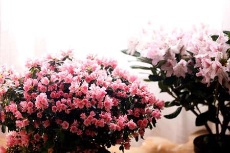 Beautiful Japanese pink Azalea flowers cut into a dense shrubbery. Full in bloom in may, springtime. Background full of flowers. Zdjęcie Seryjne
