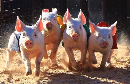Corse Pigs