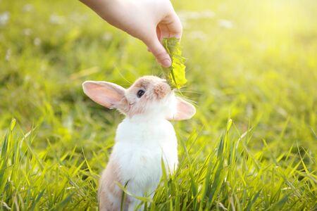Un lindo conejito feliz en la hierba. Pequeño y hermoso conejo de color rojo blanco. Primer plano de la mano da a comer diente de león de hoja. Día soleado en el jardín. Fondo de naturaleza al aire libre, verde.
