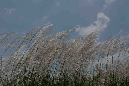 unwanted flora: A group of reed flower.