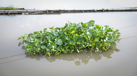 unwanted flora: a medium group of water hyacinth floating on the river. Stock Photo