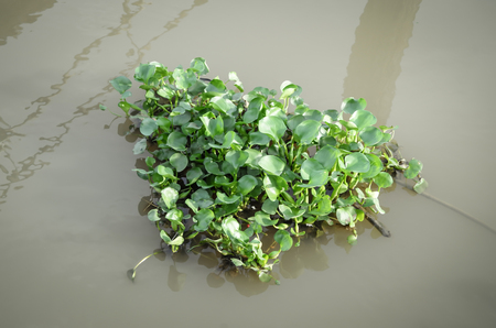 hydrophyte: small bunch of water hyacinth floating on the river.