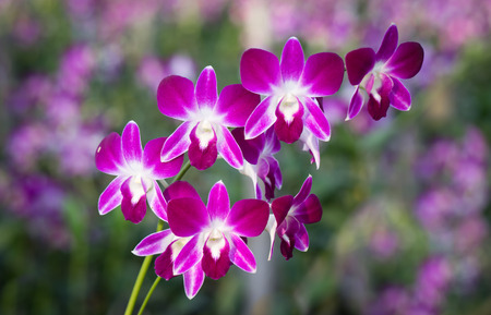 orchid house: the very beautiful purple orchid in the big orchid garden