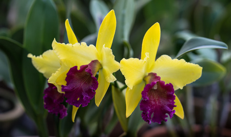 orchid house: the close up of beautiful cattleya orchid Stock Photo