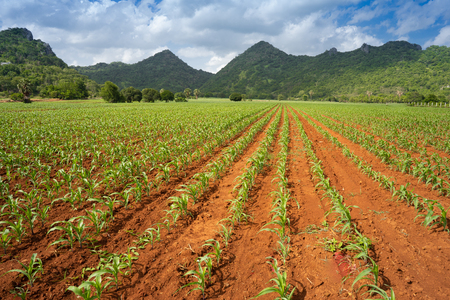 the perspective of corn field growing under the sun Stok Fotoğraf