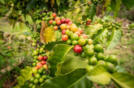 coffee bean growing a lot on the coffee tree