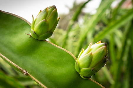 two young dragon fruits growing under good condition