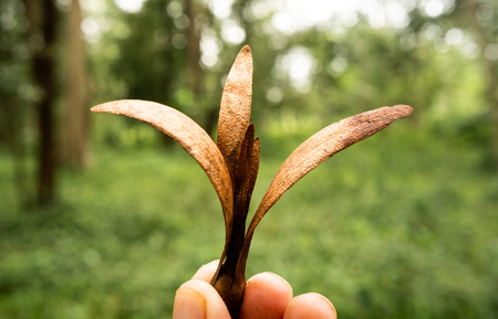 seed of the Dipterocarpus flying down to the ground. Stok Fotoğraf