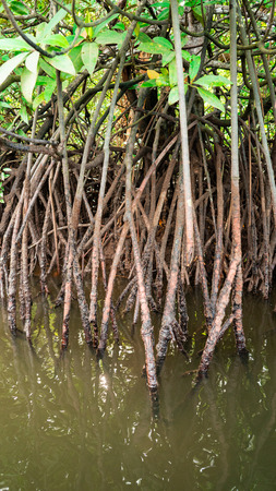 A groupe of mangrove root in the sea