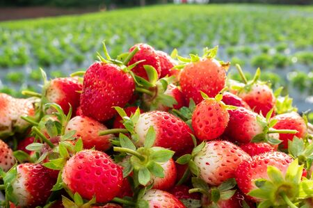 a lot of red strawberry in front of strawberry farm Stok Fotoğraf
