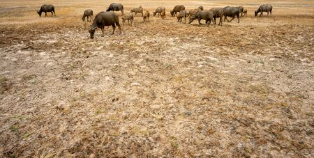 a large group of Thai buffalo on the very dry field.