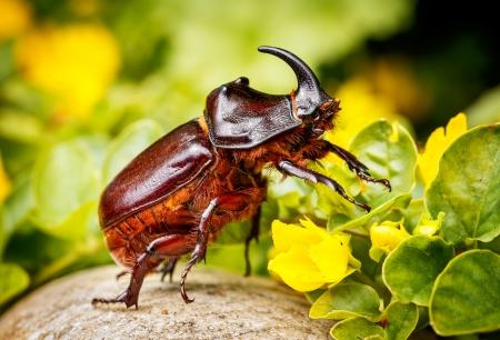 Rhinoceros beetle  Reklamní fotografie